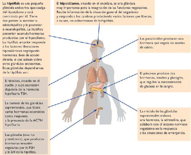 Las hormonas sexuales - Educ.ar
